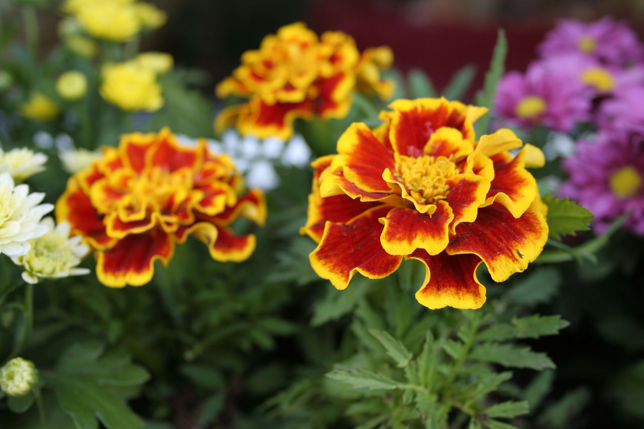 The Marigold is the October Flower of the Month