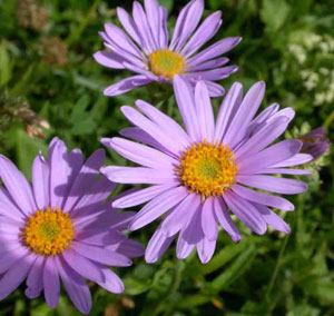 The Aster is the September Flower of the Month