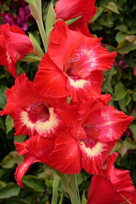 Gladiolus and Poppies are Augusts flowers