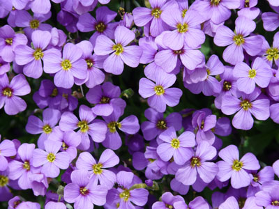 The Violet is the February Flower of the Month